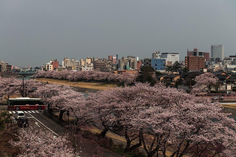 2018.04.02 犀川 桜並木 1