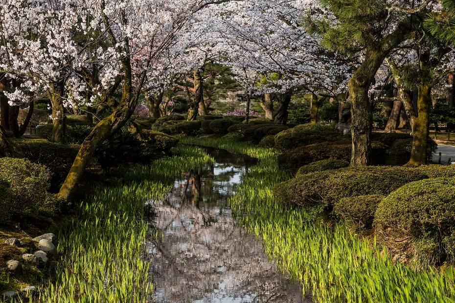 2018.04.03 兼六園 桜景色 1