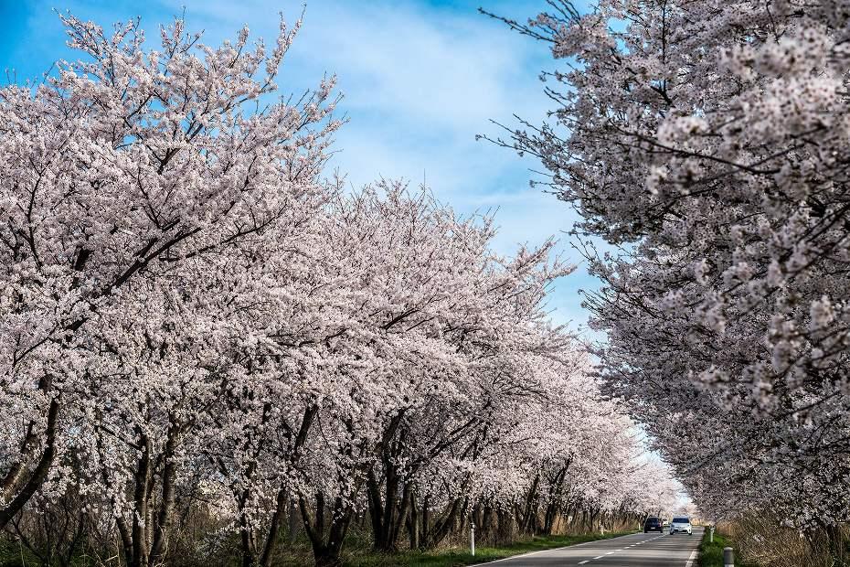 2018.04.05 河北潟 桜並木 1