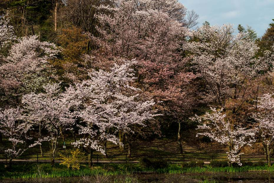 2018.04.05 奥卯辰山健民公園 桜 1