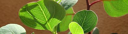 eucalyptus_polyanthemos.jpg