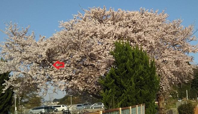 桜も散り始め