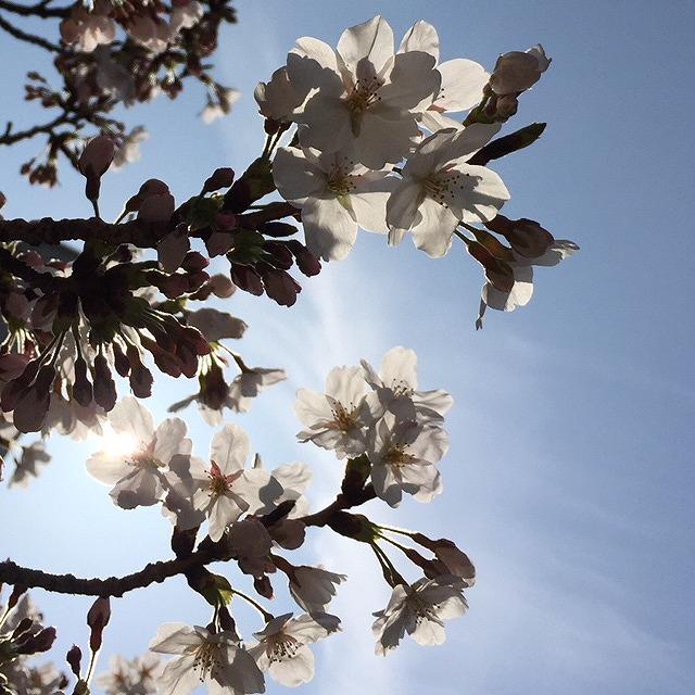 300406桜