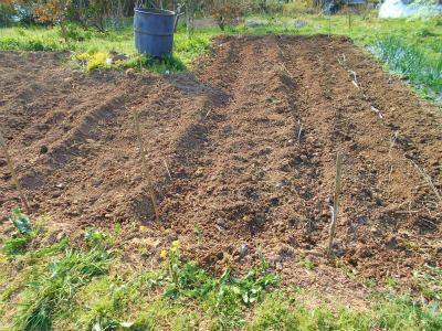 4.2やっとジャガイモ植えた