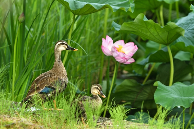 カルガモ親子と蓮の花