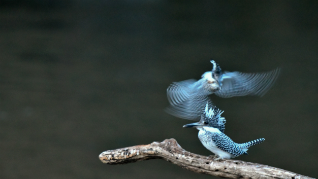 ヤマセミ交尾へと飛翔