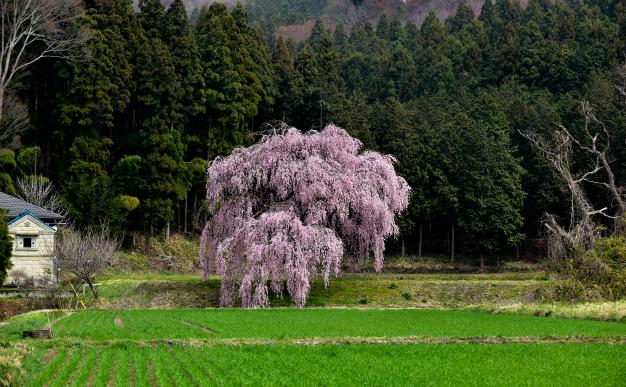 満開・篠井のしだれ桜