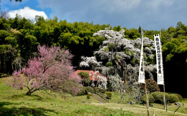 雪村桜(せっそんざくら)・郡山市
