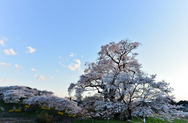塩ノ崎・大桜(エドヒガン