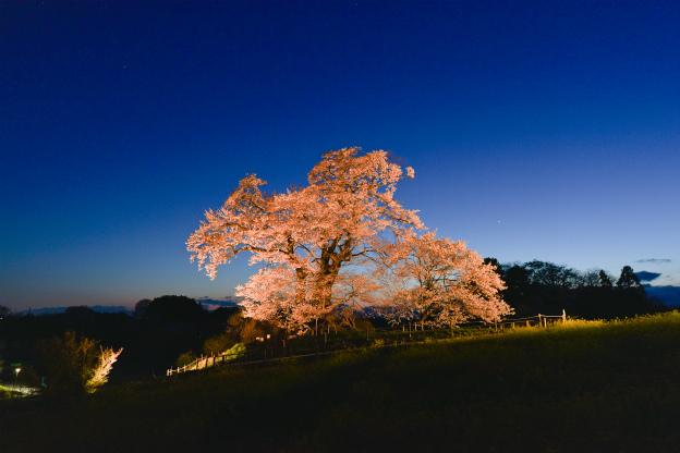 ライトアップ・塩ノ崎大さくら