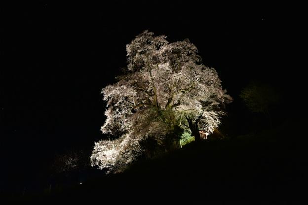 天神夫婦サクラ(山桜)