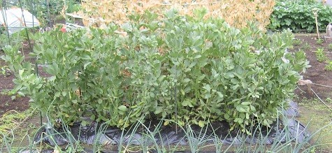 WEB_空豆収穫1