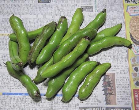 WEB_空豆収穫2