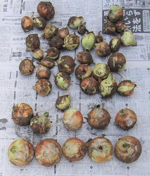 WEB_玉ねぎの収穫