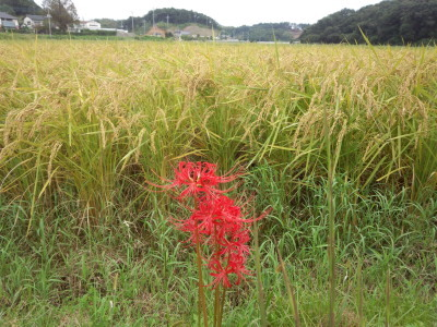 photo_randner_aigamokome_inekari2018_2_0922.jpg