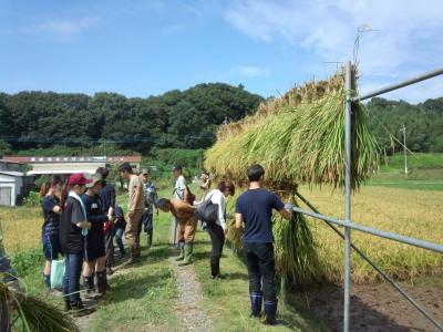 霞ヶ浦 稲刈りイベント