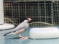 文鳥とお米