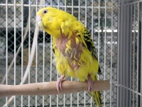 迷子のセキセイインコ(黄色)