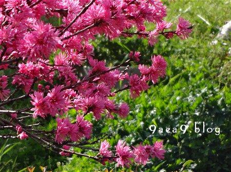 今日の花は 菊桃 バラ科サクラ属の落葉小高木 モモの1品種 別名 ゲンジグルマ 1