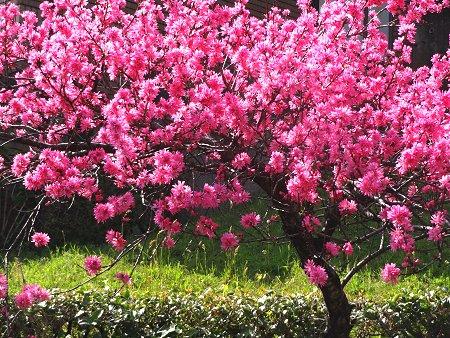 今日の花は 菊桃 バラ科サクラ属の落葉小高木 モモの1品種 別名 ゲンジグルマ 2