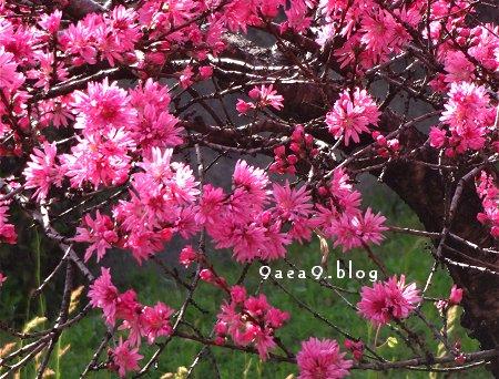 今日の花は 菊桃 バラ科サクラ属の落葉小高木 モモの1品種 別名 ゲンジグルマ 3