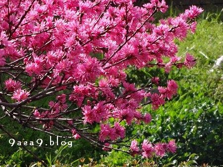 今日の花は 菊桃 バラ科サクラ属の落葉小高木 モモの1品種 別名 ゲンジグルマ 4
