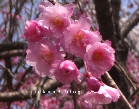 なんとなく 3-29 可愛い桜と急ごしらえの重箱弁当 6