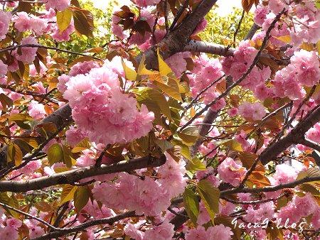 これは八重桜かなぁ 1