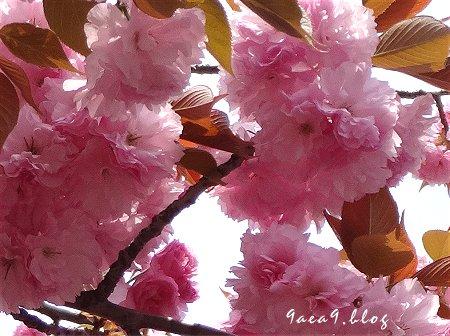 これは八重桜かなぁ 2