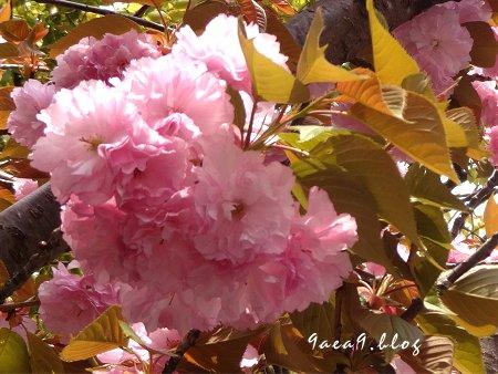 これは八重桜かなぁ 3