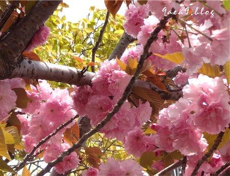 これは八重桜かなぁ 4