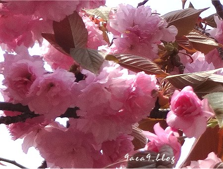 これは八重桜かなぁ 5
