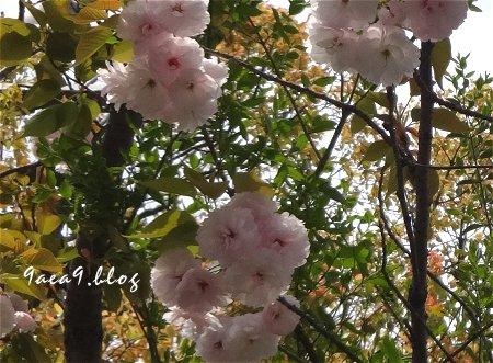 これはは白いけど これも八重桜かなぁ 1