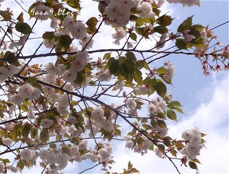 これはは白いけど これも八重桜かなぁ 2