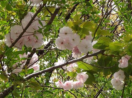 これはは白いけど これも八重桜かなぁ 3