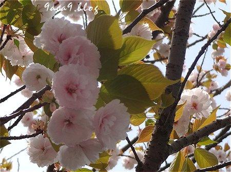 これはは白いけど これも八重桜かなぁ 4