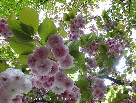 まだまだ 桜 今日の桜 4月14日 1