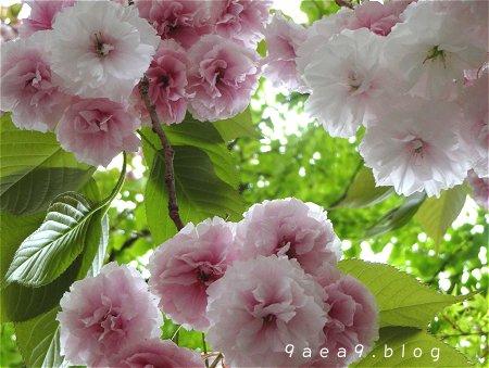 まだまだ 桜 今日の桜 4月14日 2