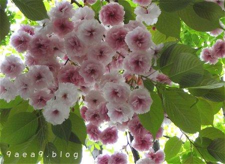 まだまだ 桜 今日の桜 4月14日 3