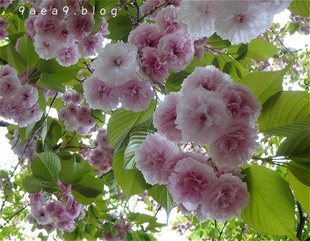 まだまだ 桜 今日の桜 4月14日 4