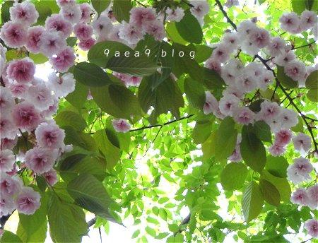 まだまだ 桜 今日の桜 4月14日 5