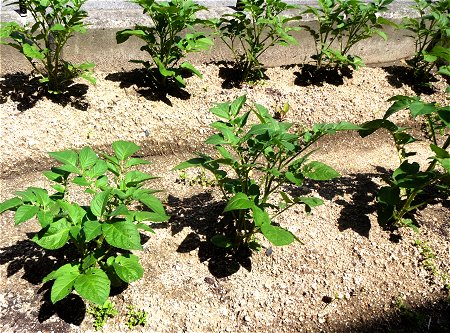 実家の家庭菜園 nanndaka