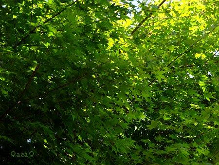 癒やしの緑 新緑 カエデ 1