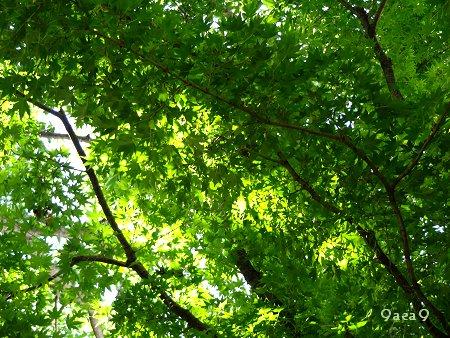 癒やしの緑 新緑 カエデ 2