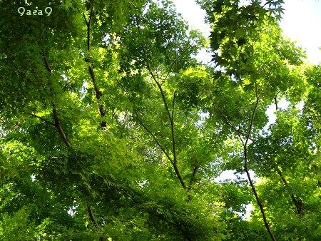 癒やしの緑 新緑 カエデ 3