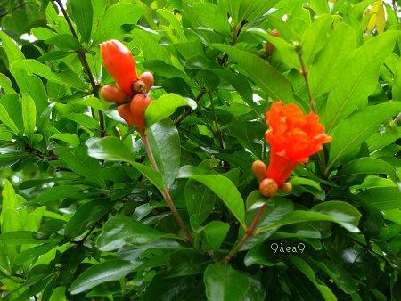 ザクロの花 1
