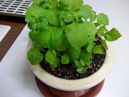大葉の苗をもらったので 鉢に植え替えて 1