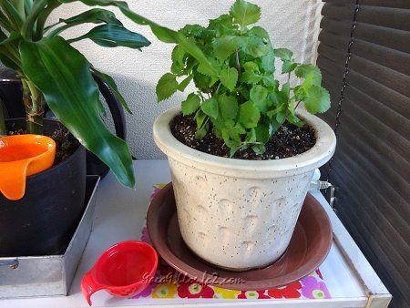 大葉の苗をもらったので 鉢に植え替えて 2