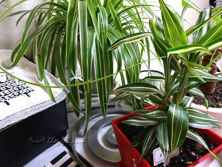 観葉植物がテーブルの中央に置いてある 花が咲いてたわ 1