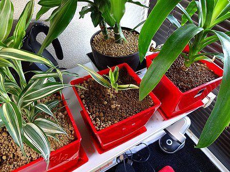 観葉植物の植え替え 2